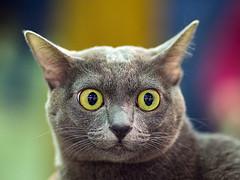 starrey cat